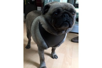 Leather Pug Harness